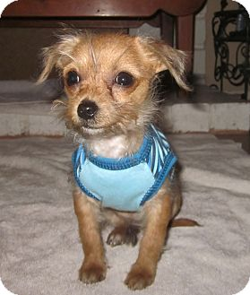 Cairn Terrier/Terrier (Unknown Type, Small) Mix Puppy for adoption in Mission Viejo, California - ELI