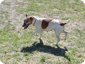 Jack Russell Terrier Dog for adoption in Scottsdale, Arizona - KARI