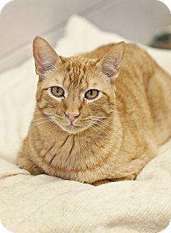Domestic Shorthair Cat for adoption in Carencro, Louisiana - Mercury