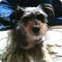 Adopt A Pet :: Chilli - Santa Monica, CA