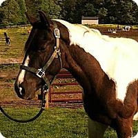 Adopt A Pet :: Black Tie - Fredericskburg, VA