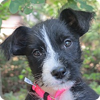 Adopt A Pet :: Poppy - Hagerstown, MD
