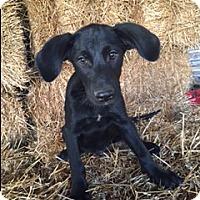 Adopt A Pet :: Cooper - Bedminster, NJ