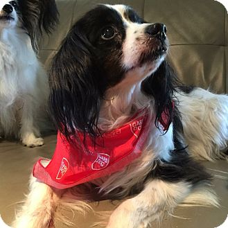 Papillon Dog for adoption in Destin, Florida - Billy (in Florida)