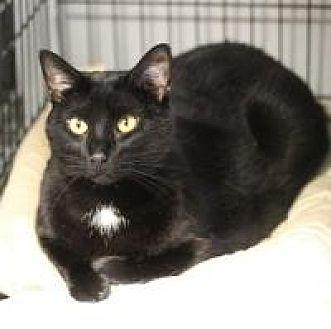 Domestic Shorthair Cat for adoption in Yukon, Oklahoma - Dani and John