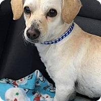 Adopt A Pet :: Coco - Valparaiso, IN