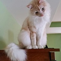Domestic Mediumhair Cat for adoption in St. Louis, Missouri - Clyde