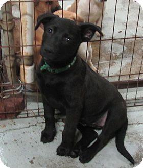 Labrador Retriever/Shepherd (Unknown Type) Mix Puppy for adoption in Hohenwald, Tennessee - Bree