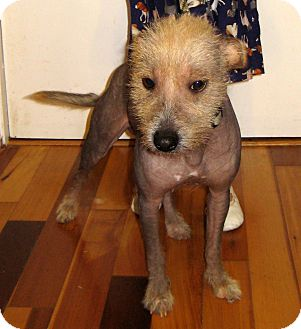 """Chinese Crested Dog for adoption in Pulaski, Tennessee - """"Willow"""""""