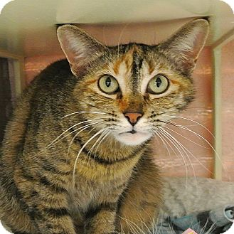 Domestic Shorthair Cat for adoption in Foothill Ranch, California - Roux
