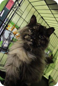 Domestic Longhair Cat for adoption in Byron Center, Michigan - Shodu