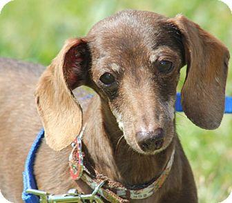 Dachshund Mix Dog for adoption in Grants Pass, Oregon - Roxy