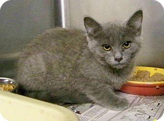 Domestic Shorthair Kitten for adoption in Dover, Ohio - Sanford
