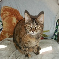 Calico Cat for adoption in Midway City, California - Sunshine