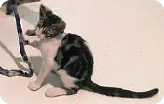 Domestic Shorthair Kitten for adoption in Mission Viejo, California - Princess