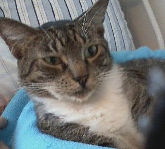 Domestic Mediumhair Cat for adoption in Oviedo, Florida - Tomicia