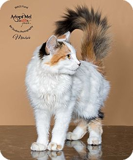 Calico Kitten for adoption in Houston, Texas - Masie