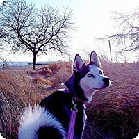 Siberian Husky Dog for adoption in Hoffman Estates, Illinois - Luba