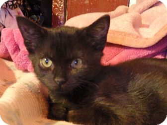 Domestic Shorthair Cat for adoption in East Brunswick, New Jersey - Magnolia