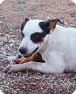 Australian Cattle Dog/Blue Heeler Mix Dog for adoption in Post, Texas - Samson