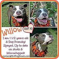 Adopt A Pet :: Willow - Orlando, FL