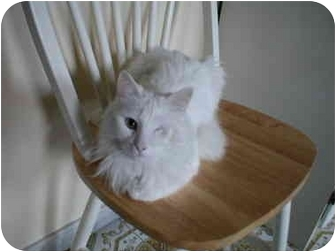 Turkish Angora Cat for adoption in Toronto, Ontario - Sasha