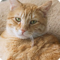 Domestic Shorthair Cat for adoption in St Louis, Missouri - Sebastian