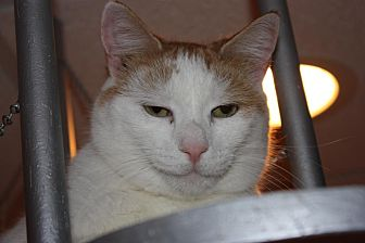 Domestic Shorthair Cat for adoption in Little Falls, New Jersey - Melvin (LE)