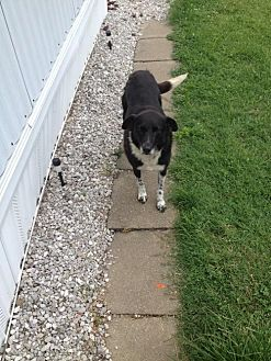 Border Collie Dog for adoption in Evansville, Indiana - Baxter (Courtesy Listing from Payneville, KY)