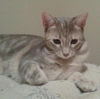 Domestic Shorthair Cat for adoption in Flower Mound, Texas - Chelsey