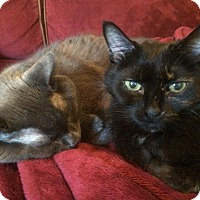Domestic Shorthair Cat for adoption in Brampton, Ontario - Smokey