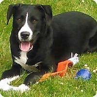 Adopt A Pet :: Buddy - Toledo, OH