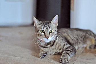 Domestic Shorthair Cat for adoption in Santa Monica, California - Nala