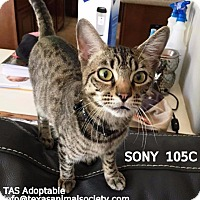 Domestic Shorthair Cat for adoption in Spring, Texas - Sony