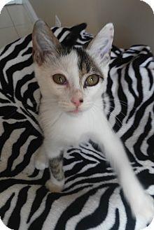 British Shorthair Kitten for adoption in Miami, Florida - Tito