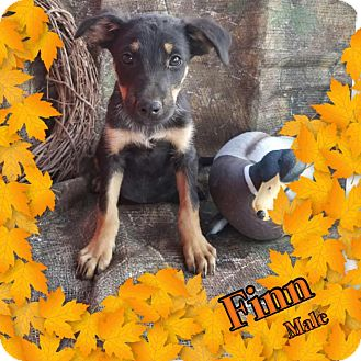 Shepherd (Unknown Type) Mix Puppy for adoption in Manchester, Connecticut - Finn meet me 10/21