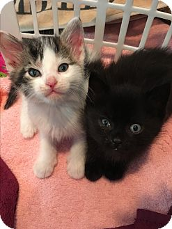 Domestic Shorthair Kitten for adoption in Whitestone, New York - Harley And Davidson