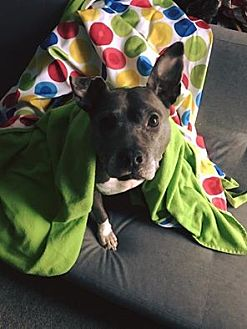 American Pit Bull Terrier Mix Dog for adoption in Oak Lawn, Illinois - Tinsel