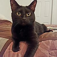 Adopt A Pet :: Destiny - Youngsville, NC