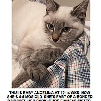 Adopt A Pet :: ANGELINA-SIAMESE LYNX POINT KITTEN - Philadelphia, PA