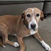Adopt A Pet :: Drue - Monrovia, CA