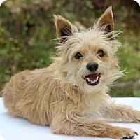 Adopt A Pet :: Westie - Waldorf, MD