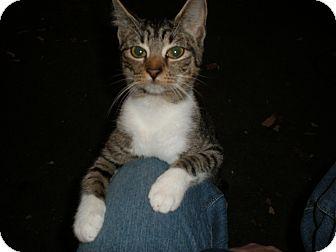 American Shorthair Cat for adoption in Franklin, Virginia - Cuddles