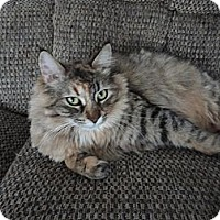 Domestic Shorthair Cat for adoption in Aylmer, Ontario - Merida