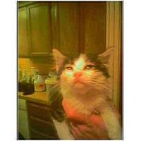 Adopt A Pet :: Precious (tabby cat) - Owasso, OK
