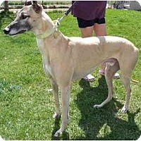 Adopt A Pet :: Gizmo - Fremont, OH