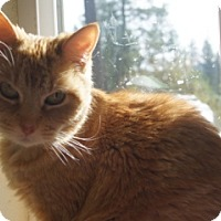 Domestic Shorthair Cat for adoption in Libby, Montana - Precious