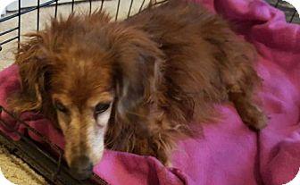 Dachshund Dog for adoption in Dallas, Texas - Baxter