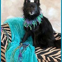 Adopt A Pet :: Cody Schipperke - Dallas, TX