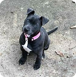 Pit Bull Terrier/Labrador Retriever Mix Puppy for adoption in Fulton, Missouri - Dixie - Alabama